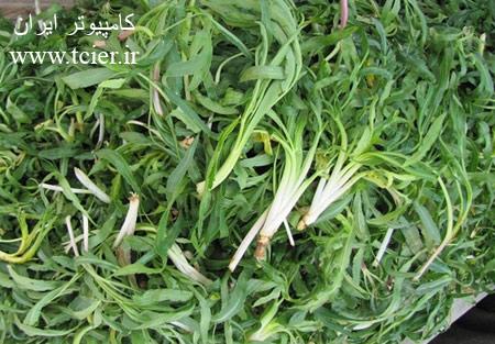 فواید و خواص گیاه شنگ(یلمیک)